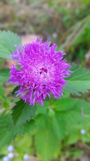 Wild Flower ,purple,beuty In Nature