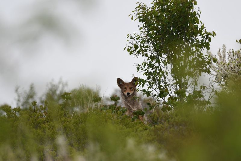 Coyote Awesome