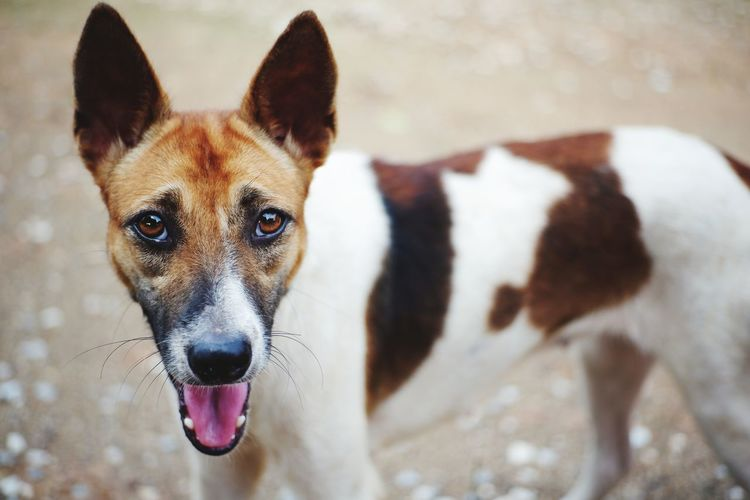 Hi moji. Portrait Pets Dog Looking At Camera Protruding Ear Eye Close-up Panting Animal Nose Teeth Sticking Out Tongue Animal Tongue German Shepherd Snout Border Collie Rottweiler Pit Bull Terrier Animal Teeth Pet Collar Animal Mouth Animal Ear Human Tongue HEAD Snarling Mouth