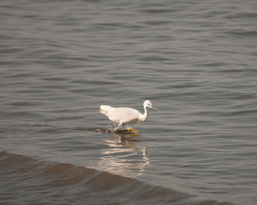 Animal Themes Animal Wildlife Animals In The Wild Beauty In Nature Bird Birds Day Gazzetta Great Egret Lake Nature No People One Animal Outdoors Swan Water Waterfront White Color