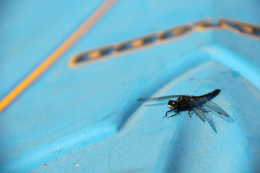 dragonfly EyeEm Selects Invertebrate Insect Animal Wildlife Animals In The Wild Animal Animal Themes Blue Close-up Day Fly Outdoors