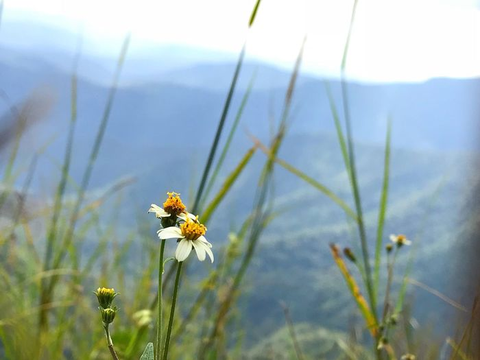 A flower growing in the hills near Peermade in Kerala Flower Nature Growth Beauty In Nature Day Plant Petal Fragility Focus On Foreground No People Freshness Flower Head Close-up