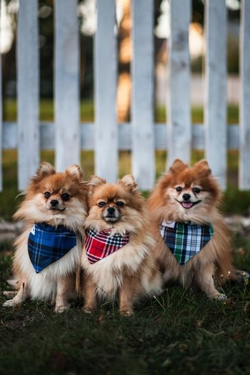Canine Dog Animal Themes Domestic Mammal Animal Domestic Animals Outdoors Focus On Foreground Selective Focus No People Pomeranian Day Small Portrait Chihuahua - Dog One Animal Vertebrate Pets