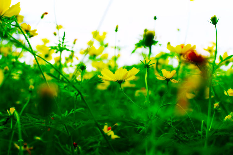 Beauty In Nature Blooming Blossom Botany Close-up Daisy Day Field Flower Flower Head Fragility Freshness Green Color Growth In Bloom Nature Petal Plant Season  Selective Focus Springtime Stem Vibrant Color Wildflower Yellow