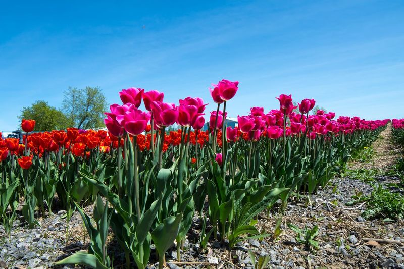 Beautiful pink tulips in tulip field landscape with blue sky in spring natural backgrounds with room for copy space Tulip Fields Tulips In The Springtime Dreamlike Landscape Scenics Blue Sky Red Pink Tulip Tulips Tulip Flower Flowering Plant Plant Sky Beauty In Nature Freshness Growth Vulnerability  Fragility Nature Red Field Land Day No People Blue Pink Color Sunlight Petal Tranquility