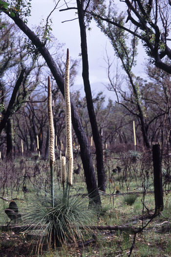 grass trees or 'black boys' after a bush fire in the grampians, victoria. Aussie Australia Australian Black Black Boys  Blackboys Bush Bush Fire Bush Land Forest Grass Tree Trunk Grass Trees Sky Grasstree Growth Nature Outdoors Tree Trunk Wild