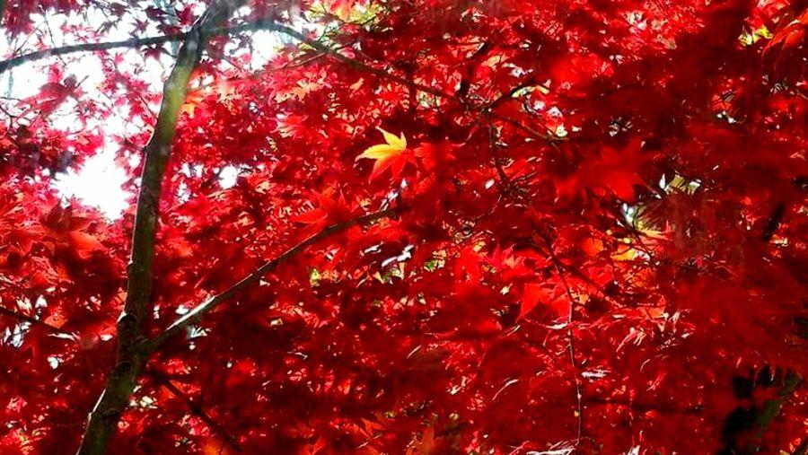 Red Tree Autumn