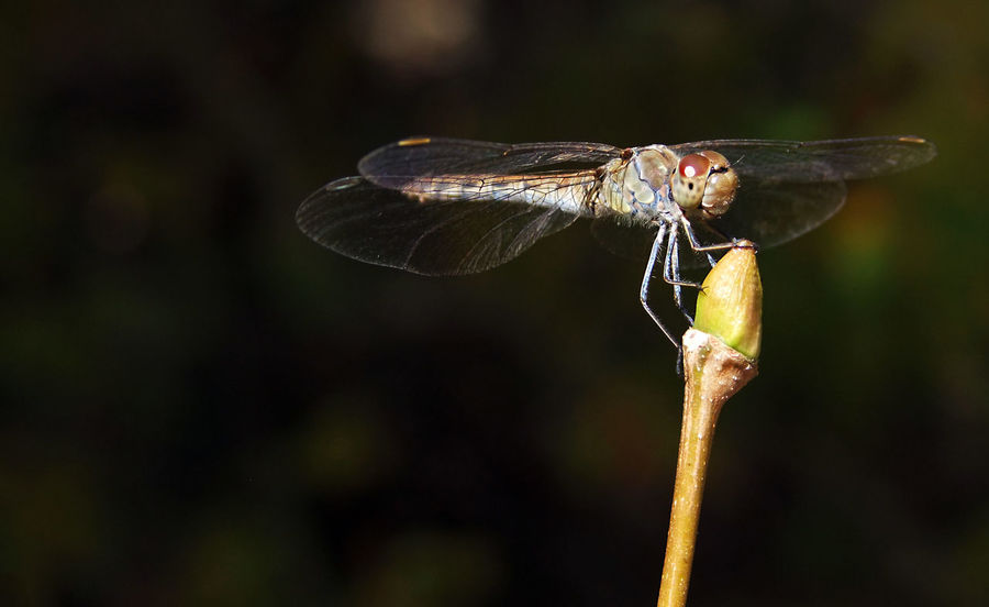 Dragonfly on a tree branch Dragonfly Libellulidae Animal Themes Animal Wildlife Animals In The Wild Branch Bud Close-up Day Entomology Insect Macro Nature No People Odonata One Animal Outdoors Zoology