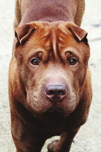 Shar Pei One Animal Close-up Animal Head  Portrait Looking At Camera Outdoors Dog Pets February 2017 Winter 2017 Dogs Of EyeEm Dogs Of Winter Dogwalk Dogslife A Walk In The Park Bokeh