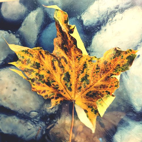 Close-up of dry maple leaf during autumn