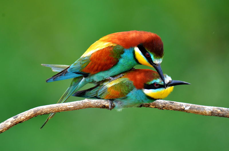 Animal Themes Beauty In Nature Bee Eater Bee Eaters Beeeater Bird Bird Photography Birds Birds_collection Birds🐦⛅ Blue Day Focus On Foreground Green Color Multi Colored Nature Outdoors Wildlife Nature Diversities Nature's Diversities Nature's Diversities - 2016 EyeEm Awards