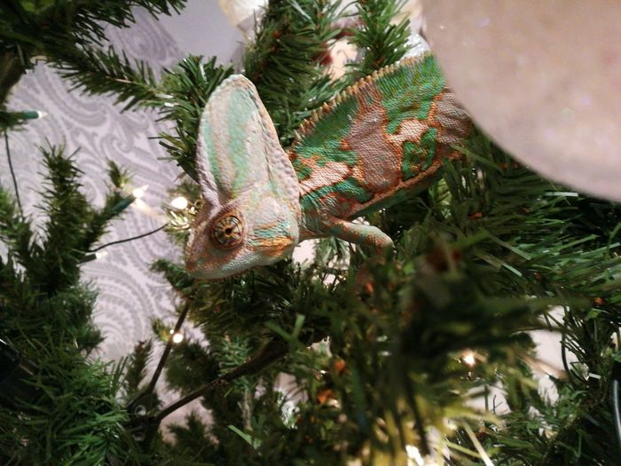 Steve the Chameleon first climb on the x mas tree Tree Branch Christmas Tree No People Chameleon Hide And Seek With Steve Can You See Me