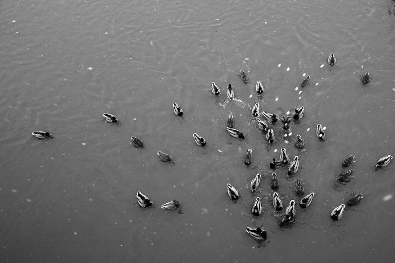 Manna from heaven Animal Themes Animals In The Wild Bird Blackandwhite Duck High Angle View Large Group Of Animals Nature No People Water