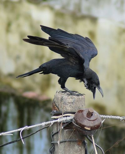 Animal Wildlife Animals In The Wild Close-up Bird Nature Outdoors No People Day Streetphotography Sky Choice Animal Themes One Animal Crow