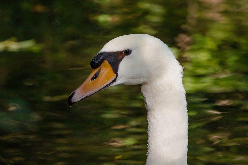 White Swan Eyem Nature Lovers  EyEmNewHere Eyem Gallery Wildlife & Nature Nature Photography Naturelovers Swan EyeEmNewHere EyeEmNewHere