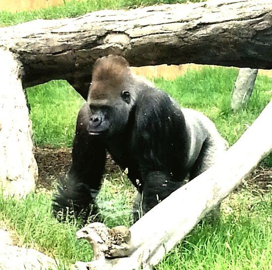 Gorilla Nature Animals Jungle