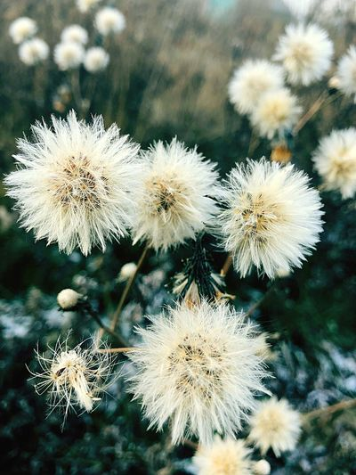 Close-up of white dandelion flowers