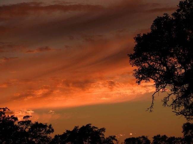 Orange sunset with tree silhouettes and wispy clouds Tree Sky Plant Beauty In Nature Sunset Cloud - Sky Tranquility Scenics - Nature Silhouette Nature Orange Color No People Low Angle View Outdoors Dramatic Sky Idyllic Non-urban Scene