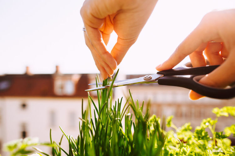 Cropped hands of woman cutting herbs with scissors