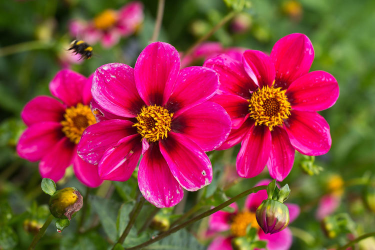Flowering Plant Flower Petal Beauty In Nature Plant Fragility Vulnerability  Inflorescence Flower Head Growth Freshness Close-up Focus On Foreground Pink Color No People Pollen Nature Day Outdoors Park Dahlia