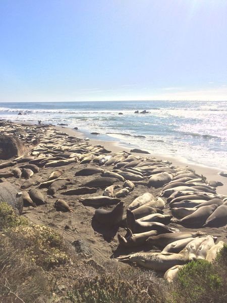 Beach California Clear Sky Elephant Seals Horizon Over Water Nature No People Sand Scenics Sea Seal Sky Sunlight