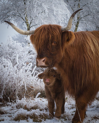 Blue Eyes Pet Portraits Winter Wintermorning Animal Themes Brown Cold Temperature Cow Cows Day Domestic Animals Highland Cattle Horn Inthewild Livestock Mammal Motherlove Nature Newborn No People Outdoors Snow Standing Togetherness Winter