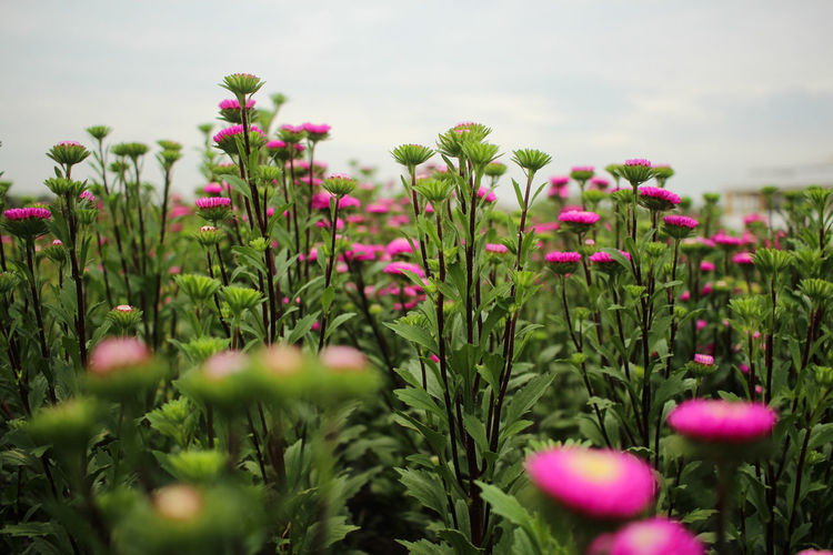 Plant Flower Flowering Plant Growth Beauty In Nature Pink Color Sky Close-up