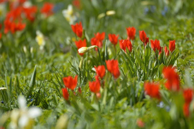 Tulips and lilys Nature Nature Photography Nature_collection Selective Focus Park Spring Springtime Outdoors City Park Sunshine Lilies Lily Flower Red Tulips Tulips Tulpaner Liljor Grass Flower Poppy Red Defocused Summer Flower Head Close-up Grass Plant Flowering Plant Growing Young Plant Stalk