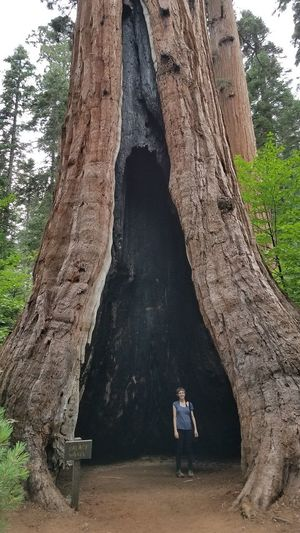 Giant Sequoia HOLE IN TREE TRUNK Huge Tree Massive Tree Big Trees Forest Forest Fire Hole In Tree Huge Tree One Person Outdoors Palace Hotel Tree Tree Trunk
