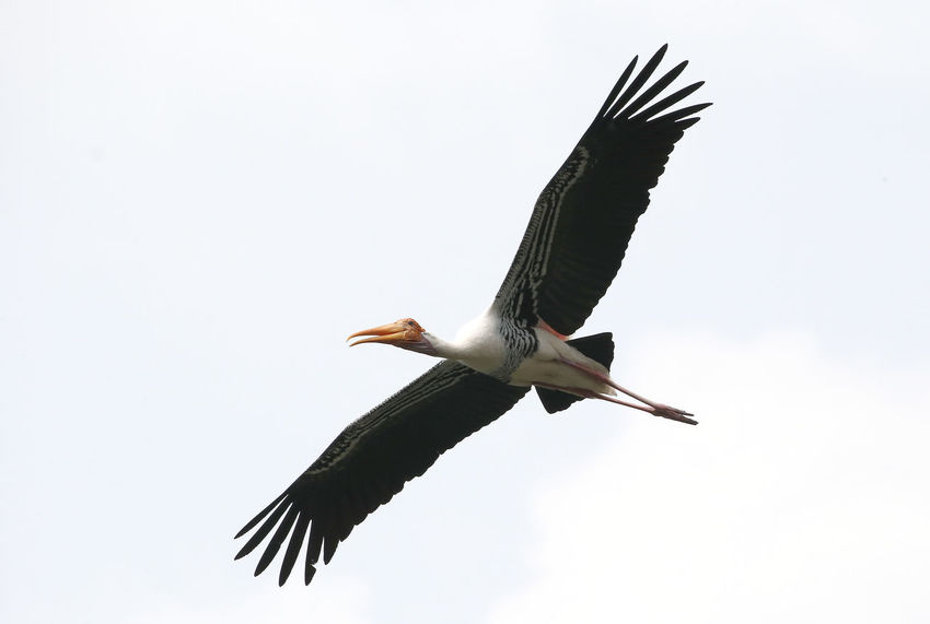 Animal Animal Themes Animal Wildlife Animals In The Wild Bird Clear Sky Copy Space Day Flying Low Angle View Mid-air Motion Nature No People One Animal Outdoors Pelican Sky Spread Wings Stork Vertebrate