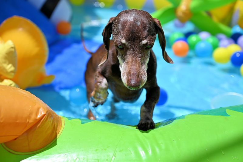 Dachshund summer fun with water under the sun 🔆 Wet Hot Kiddie Pool Colors Kid Pool EyeEm Selects Animal Themes Animal One Animal Water No People Pool Close-up Swimming Pool Focus On Foreground Vertebrate Mammal Animal Wildlife Day Toy Portrait Multi Colored Pets