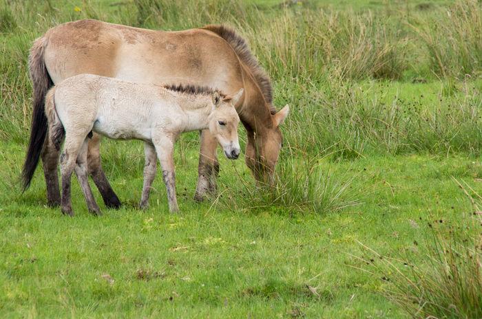 The Highland Wildlife Park on a rainy day. Horses Przewalski's Horse Rain Scotland Animal Themes Animals Day Field Foal Grass Green Color Highland Wildlife Park Nature No People Scottish Highlands Wildlife