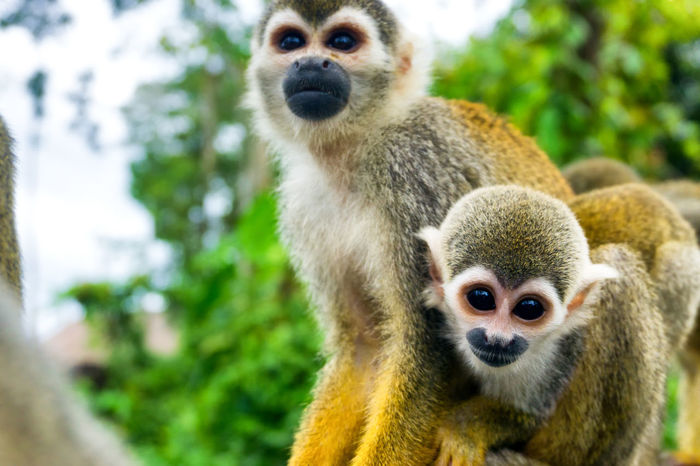 Two squirrel monkeys in the Amazon near Leticia, Colombia Amazon Amazonas Amazonia America Animal Colombia Conservation Cute Forest Jungle Leticia Monkey Monkeys Nature Outdoors Rainforest River South Squirrel Tourism Travel Tree Tropical Wild Wildlife