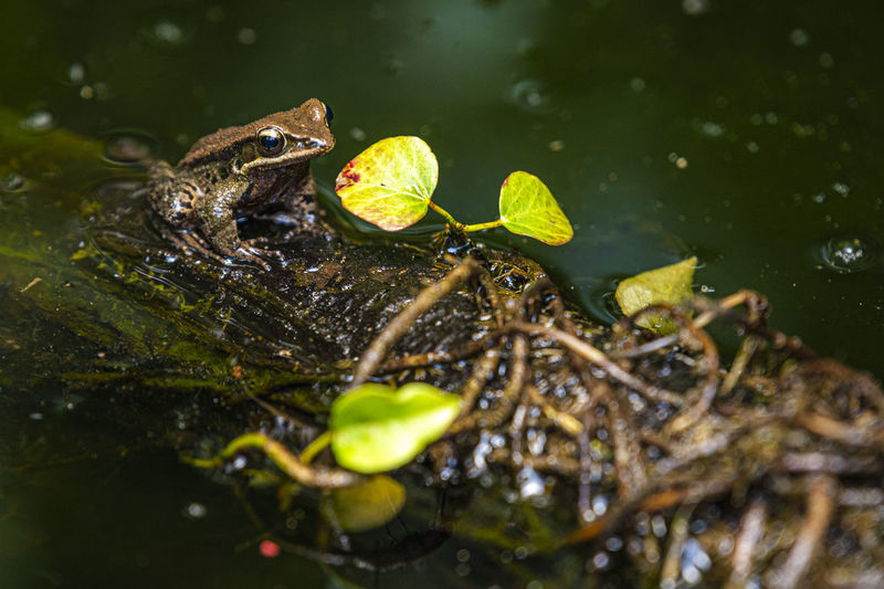 Close-up of frog on leaves in lake