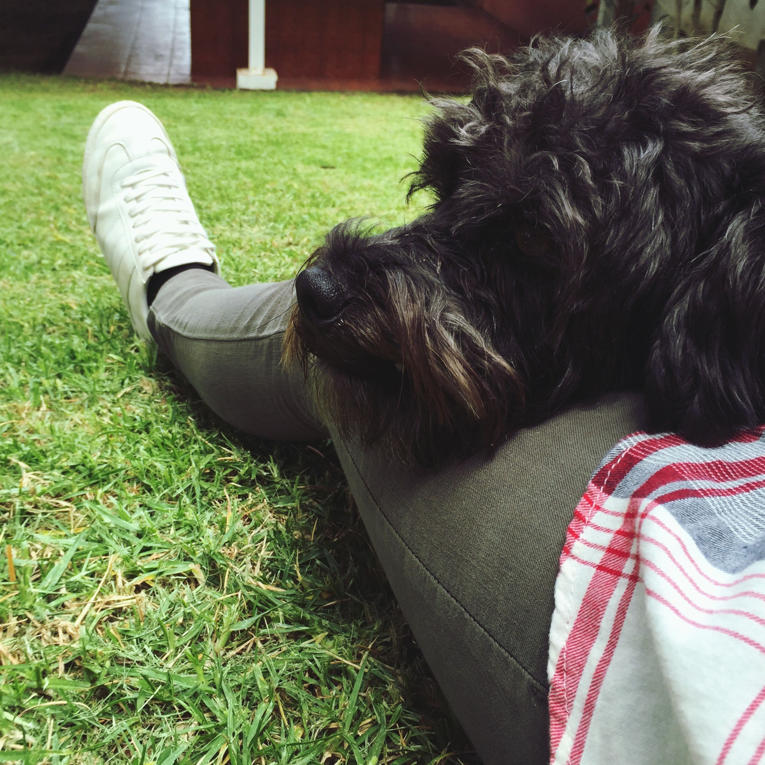 grass, domestic animals, dog, pets, one animal, relaxation, animal themes, mammal, resting, lying down, field, grassy, sleeping, lawn, relaxing, sitting, close-up, black color, day, no people