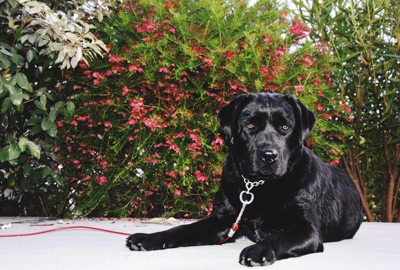 Plant Black Color Dog One Animal Pets Sitting Mammal Domestic Animals Animal Themes Nature Outdoors No People Day Labrador Labrador Retriever Labradorable  Perro Negro Naturaleza Animales Mascotas