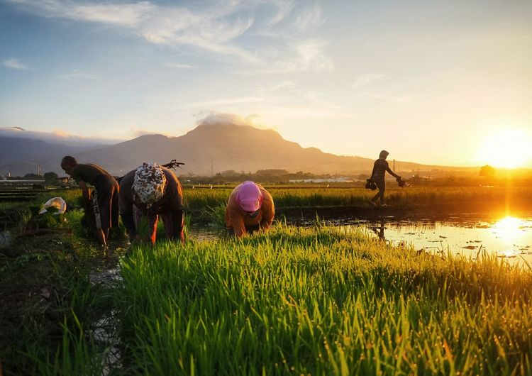 Good Morning from the Paddy Field at Bandung Water Mountain Rice Paddy Occupation Farmer Sunset Agriculture Men Field Sky The Traveler - 2018 EyeEm Awards