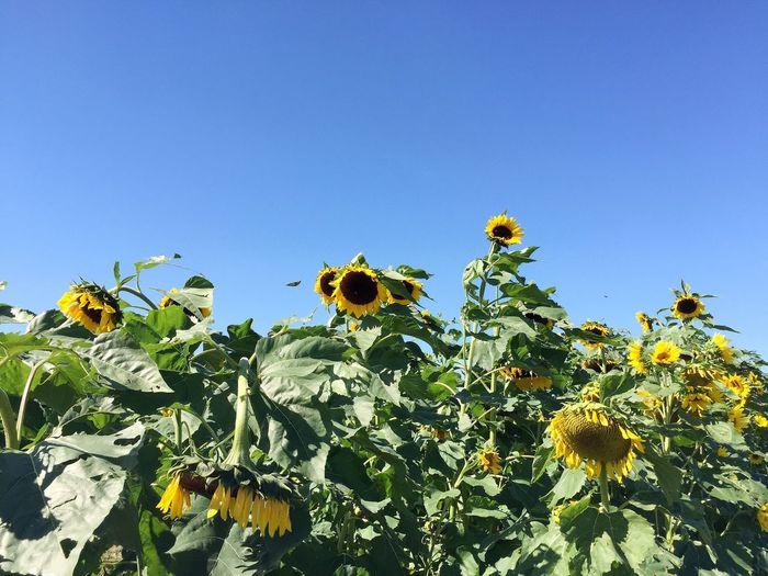 Bee on sunflower against clear sky