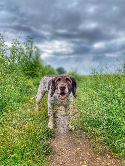 Ready for action Dog Photography Springer Spaniel Dog Walking One Animal Animal Themes Animal Mammal Dog Canine Vertebrate No People Pets