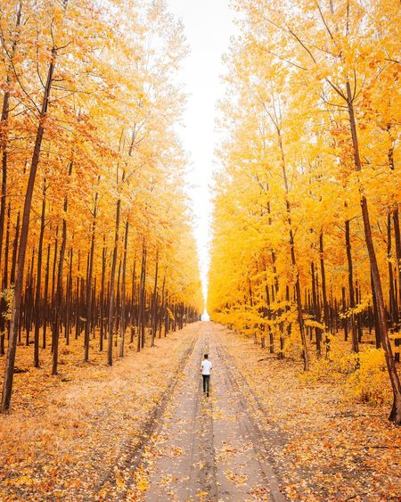 Lost In The Landscape Autumn Leaf Change Tree Nature Forest Full Length Walking One Person The Way Forward Outdoors Rear View Adult People Tranquil Scene Scenics Yellow Single Lane Road Day