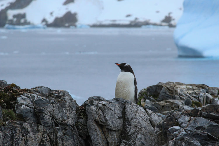 Rock Solid Rock - Object Animals In The Wild Vertebrate One Animal Animal Wildlife Bird Animal Animal Themes Water Focus On Foreground Perching Nature Sea Day No People Rock Formation Cold Temperature Outdoors Penguin Antarctica Ice Iceberg Sea Ice Animals In The Wild Travel Travel Destinations Winter Wintertime