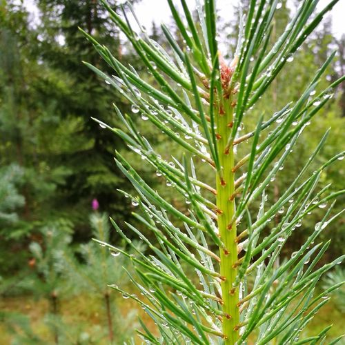 Babypinetrees Raindrops Summer Summertime Intothewoods Finland Finland Summer Nofilter Nature Nature Photography