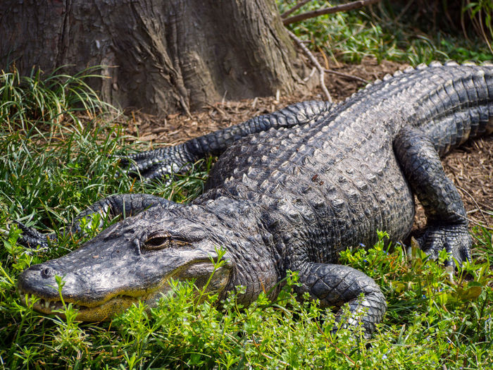 Close-up of crocodile in swamp