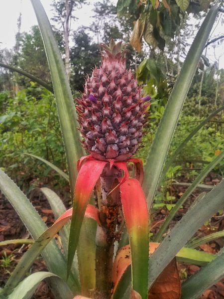 Pineapple Nature Plant Beauty In Nature No People Piña Pineapple Jungle