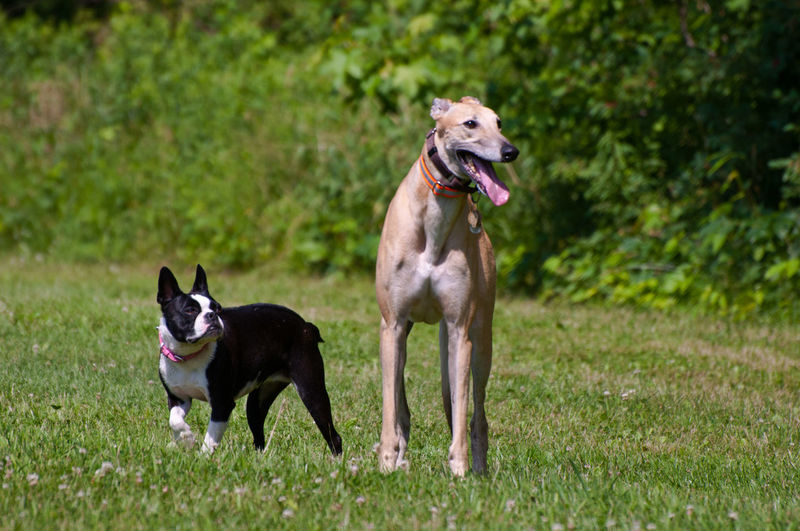 Examining Sizing Up Weary Skeptical Tall Short Short Tall Tall Short Green Eye Monster Jealous Jealousy  Height Envy Height Height Difference Envy Happy Happy Dog Racing Chase Chasing French Bulldog Frenchbulldog Greyhound Racing Greyhound Retired Greyhound Smiling Tongue