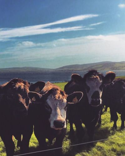 Cows Nosey Cuteanimals Goveggie Orkney Stromness Scotland