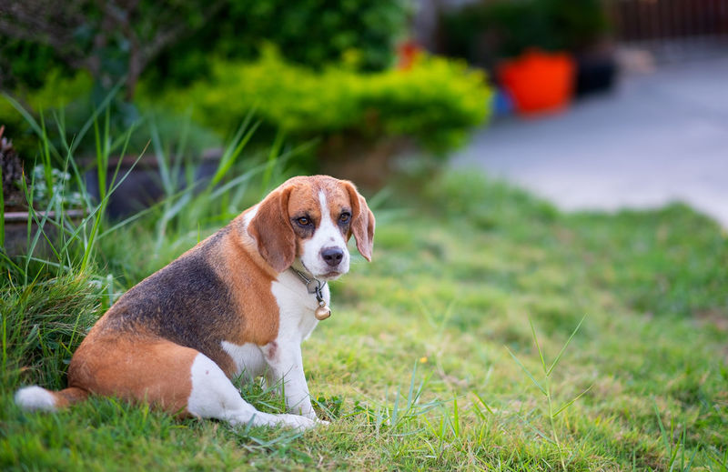 Beagle puppy sitting on green grass, Portrait cute Beagle dog One Animal Animal Themes Dog Canine Domestic Mammal Animal Pets Domestic Animals Grass Plant Beagle Portrait No People Focus On Foreground Day Sitting Looking Brown Nature Animal Head  Purebred Dog