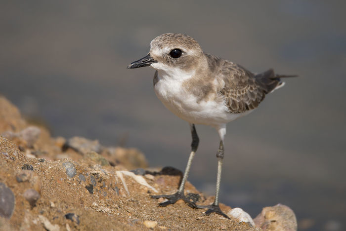 Lesser Sand Plover Bird Animal Wildlife Animals In The Wild One Animal Outdoors Side View Beak Sand Close-up No People Day Feather  Beauty In Nature Beak Bird Photos Birds🐦⛅ Looking At Camera Sunny Standing Water Nature Beach