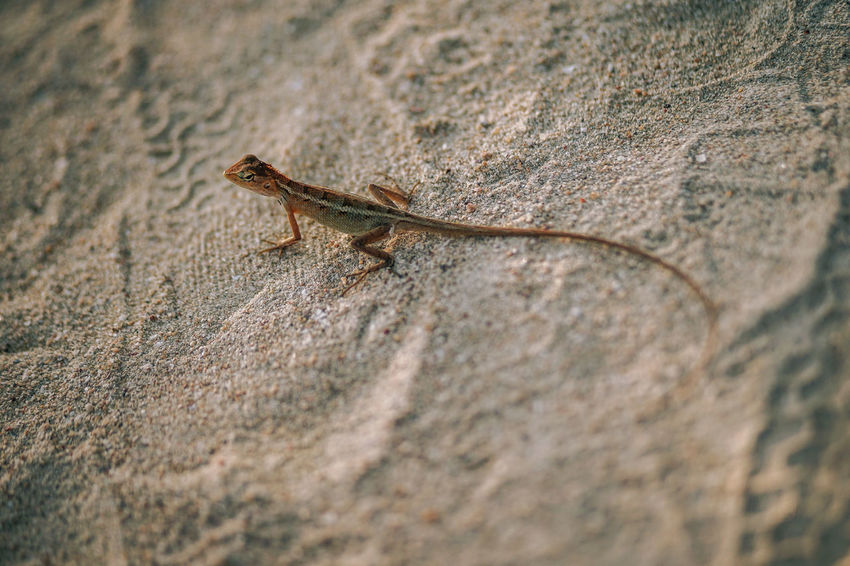 Beautiful tiny tropical lizard with long tail looking around on the hot sand beach. Retro Beach photography. Tropical jungle forest inhabitant. ASIA Asian  Exotic Lizard Natural Nature Reptile Scale  Sunny Animal Brown Climate Closeup Dry Forest Freeze Ground Headshot Jungle Long Long-tailed Orange Color Outdoors Tail Tropical