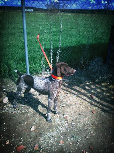 Dog Doggy Draco Pete